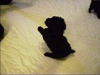 Absolutely adorable !!! One tiny, black, male Toy