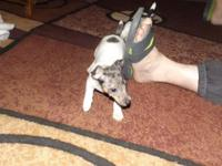 Tiny Toy Rat Terrier BOY 175.00. CPR Registered,
