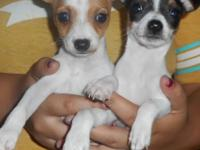 These Toy Rat Terriers will be very small - maturing