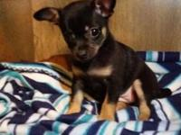 Tiny women pure bred chihuahua young puppy, she is 9