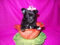 Adorable, cuddly, Toy size MaltiPom Puppies. Maltese /