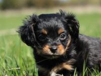 TINY Toy Spaniel Puppies. RARE Toy Spaniel and