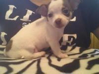 5 Chihuahua young puppies. 6wks. 3 females 2 males.