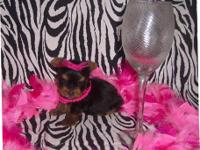 Adorable CKC registered Tiny Toy & Teacup Yorkie