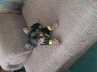 Tiny toy male yorkie was born March 30th and is all set