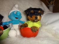 Yorkies available for sale 1 BOY 1 GIRL AVAILABLE TINY