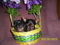 2-female yorkies CKC registered. Very playful. mother