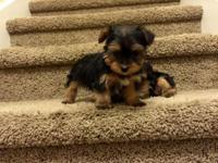 Tiny Toy Yorkie (TeaCup) Charting 3lbs!!!! PURE-BRED