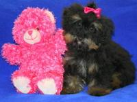 Madison is a beautiful tiny toy yorkiepoo puppy.She