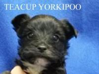 . Teddy bear Yorkipoo, Teacup. Teacup Male. D.O.B.: