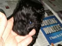 Beautiful poodle puppys one 6 wk old black male very