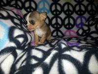 I have 2 solid white chihuahua puppies. They are both