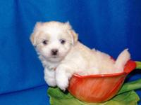 Maltese/ Shih Tzu. 1 Boy$400 Ready November 15th. A