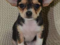 Tiny Cookie- SALE NOW (300.00)-- Chorkie Female-