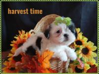Beautiful and extra tiny female shih tzu. ready to be