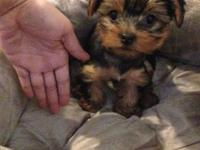 10 Week old female yorkie. Shes had very first set of