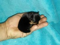 Don't miss this opportunity to own a tiny Yorkie for a