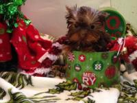 Hi I have registered chocolate Yorkie puppies 3 male 1