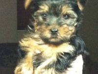 Amazing and absolutely stunning lil FEMALE YORKIE