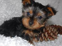 Mickey is a tiny AKC YORKIE. He was born 1-2-2015.