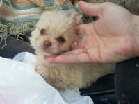 Morkie puppies. Maltese yorkie mix. Mother 3/4 maltese