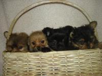 Beautiful tiny Yorkie/Poms. First Babies, I have had in
