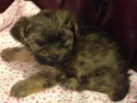 This small woman is a ckc registered yorkie poo. She's
