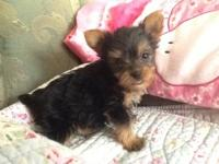 Adorable purebred tiny yorkie puppies. They love to