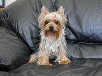 3 Tiny Micro purebred registered teddybear Yorkie