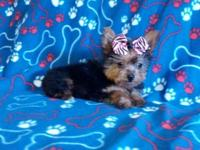 Tiny little Yorkie puppies males and females now ready