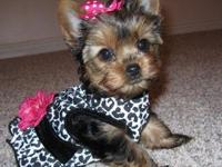 Tiny X Mas yorkie puppies for adoption. Are up to date