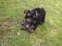little yorkiepoo young puppy complete of energy and