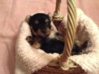Tiny Yorkies males & & females. They are 4 weeks old,