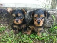 I have 2 male yorkies. They are Aca registered. They