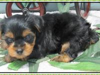 This is Tiny, He is a sweet little male yorkie. He