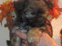 We have a litter of Yorkie/Bishon puppies ready Nov.