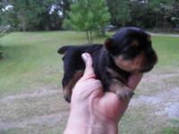 i have tiny male and female puppies. ckc registered.