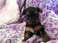 TWO AKC Yorkshire Terrier female puppy's ..... Just