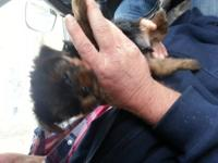 For sale are 2 teeny tiny akc registered yorkies. The
