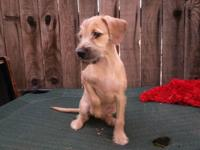 Cute tiny male Terrier mix puppy Jack Russell/miniature