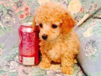 Tiny Toy Male Poodle $450 Vet checked and 1st