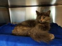 Tippy's story Tippy is a Manx/DMH mix approx 1 year