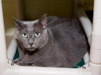 Tippy is a middle aged Russian Blue mix boy who came