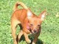 Tipsey's story Tipsey 6 month old Chihuahua Mix. She is