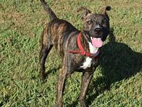 My story Titan is a handsome brindle Pit mix boy that