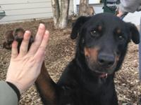 Titan is a 1yo Rottweiler mix who weighs in around