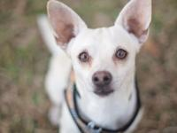 Tito - Chihuahua - Male - 2 Years - www.twyla.org  If