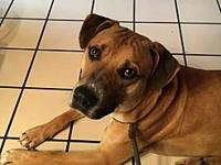 Titus's story Titus is a beautiful black-mouth cur mix,