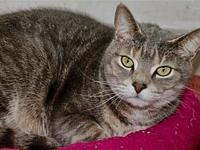 Titus's story Titus is an 8 year old Domestic Shorthair