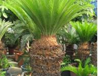 TKWINFGS Rare Palm and Cycad collections for sale , got